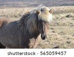 attractive icelandic horse with ... | Shutterstock . vector #565059457
