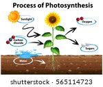 Diagram Showing Sunflower And...