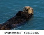 Sea Otter Checking Out Visitin...