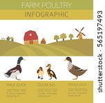 Poultry Farming. Duck Family...