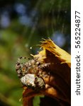 Small photo of Close-up side view of Caucasian colored spider Araneus with splayed legs hanging on cobweb and a twisted yellow autumn leaves