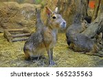 Patagonian Hare  Lat....