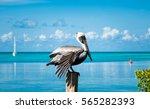 pelican bird resting on the... | Shutterstock . vector #565282393
