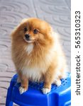 Stock photo cute puppy brown pomeranian sitting on blue plastic chair 565310323