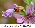 ladybird on flower - stock photo