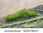 Green Caterpillar On A Leaf Of...