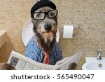 Stock photo humorous picture of a irish wolfhound dog dressed in a hat glasses and shirt sitting on the 565490047