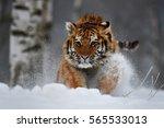 siberian tiger | Shutterstock . vector #565533013