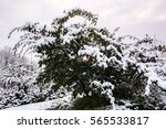 Snow On Red Berry Bush In Uk...