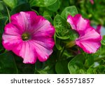 Pretty Two Toned Pink Petunias...