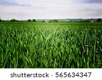 green field on spring  close up | Shutterstock . vector #565634347