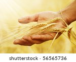 Wheat Ears In The Hand.harvest...