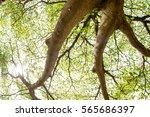 terminalia ivorensis chev. ... | Shutterstock . vector #565686397