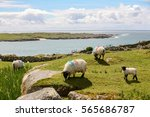 Three White Sheep And One Lamb...
