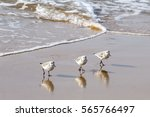 Sandpipers Walking In Unison O...