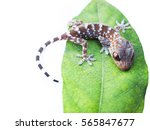 Gecko With Green Leaves On A...