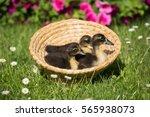 Portrait Of Three Ducklings...