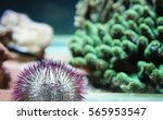 Small photo of White salmacis urchins