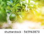 lime tree  green lemon | Shutterstock . vector #565963873