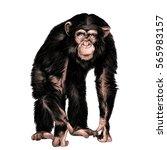 monkey sketch vector color... | Shutterstock .eps vector #565983157