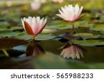 white water lily. | Shutterstock . vector #565988233