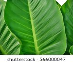 Big Flat Leaf Background ...