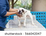 Stock photo the people with french bulldog taking care dog pets 566042047
