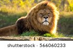 Sunlit male lion