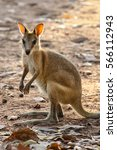 Small photo of Agile Wallaby facing in the warm evening light, Katherine, Northern Territory, Australia
