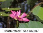 Close Up Of A Lotus Flower Wit...