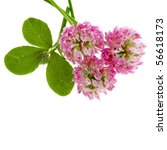 Pink Clover Isolated On White...