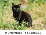 Stock photo black cute cat kitten pussycat sit in green grass outdoor at sunny summer evening 566185213