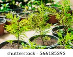 small green sprouts of spruce... | Shutterstock . vector #566185393