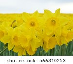 A Closeup Look At Daffodils In...