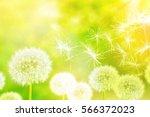 fluffy dandelion flower against ... | Shutterstock . vector #566372023