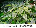 calathea large juicy green... | Shutterstock . vector #566586787