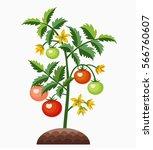 tomato plant. tomatoes ripening ... | Shutterstock .eps vector #566760607