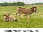 Two Donkeys Resting On The...