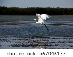 Great Egret Taking Of From The...