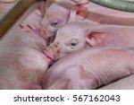 newborn piglet are suckling... | Shutterstock . vector #567162043