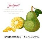 vector illustration of a jack... | Shutterstock .eps vector #567189943