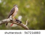 Small photo of An African goshawk, eating its prey, a black crake