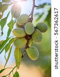 Almond Nuts On The Branch In...