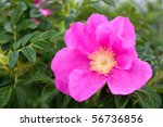 Rugosa Roses Are Native To New...