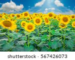 Sunflower Field In The Summer...