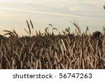 wheat closeup on golden summer... | Shutterstock . vector #56747263
