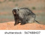 north american porcupine on a... | Shutterstock . vector #567488437