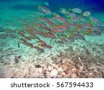 Small photo of School of French grunt off the coast of Ambergris Key, Belize