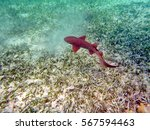 Small photo of Nurse shark feeding on a sandy bottom with sea grass off the coast of Ambergris Key, Belize
