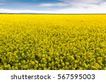 Field Of Bright Yellow Rapesee...